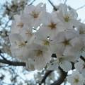 福岡の桜・2015春